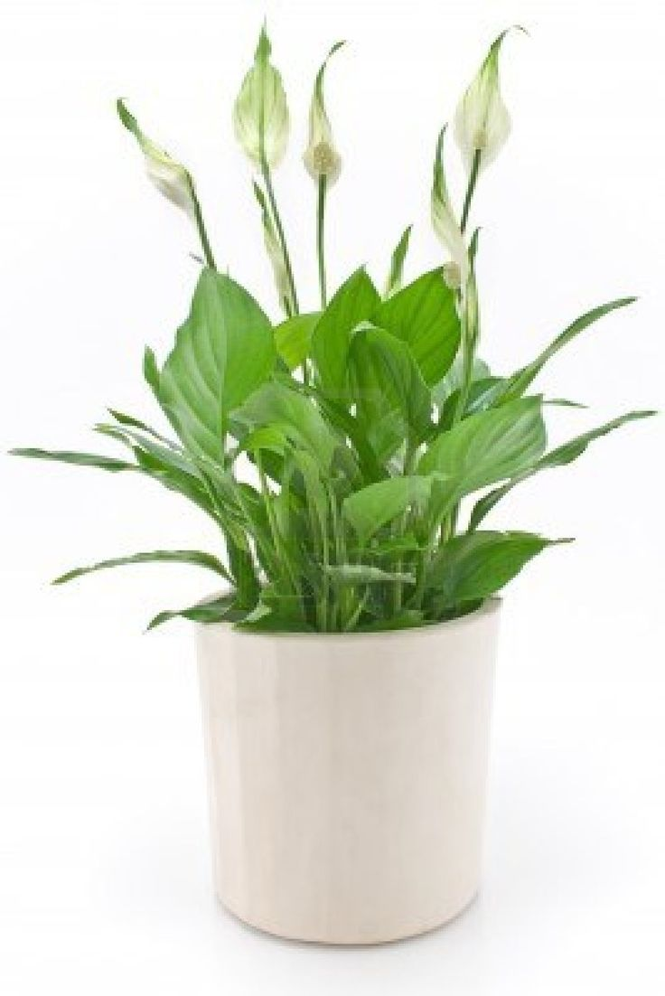 134 best peace lily images on pinterest peace lily lilies and also known as mauna loa the peace lily can add some tropical flair to your workspace with its large and lush leaves and pretty white blooms dhlflorist Gallery