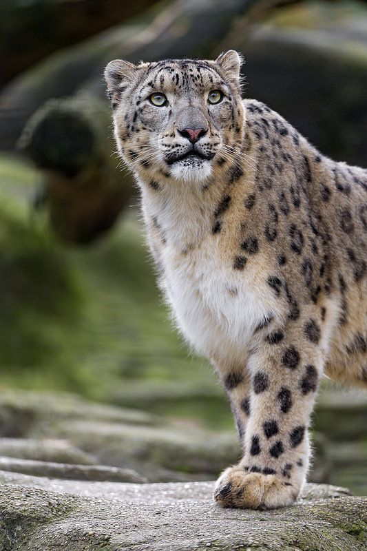 Beautiful Snow Leopard .                                                                                                                                                                                 More