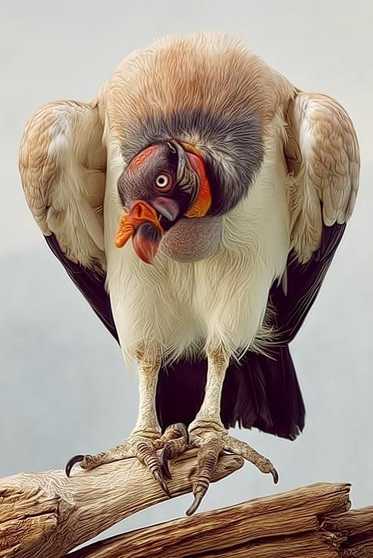 King Vulture.    Native to Central and South America.    Believed by Ancient Mayans to be divine, serving as intermediaries between Mayans and the gods.