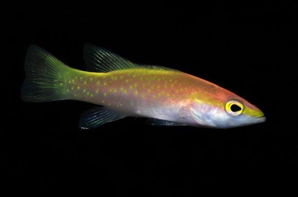 ゴールデンバスレット: 80万円 ハタ科の中では最小で、太平洋と大西洋の両方で見つかる。生命力が強くいけすで飼うことはできるのだが、売りに出されることはめったにない。この魚を捕まえるためには深海探査船が必要なので、とんでもない値段になっている。この魚はかなりシャイで、大好物である大きなハマグリをあげたとしてもなかなかその姿を見ることはできない。