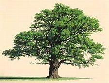 Old Oak Tree Tattoos - Bing Images