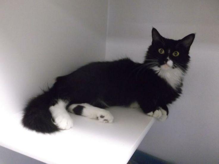 Adopt *ADOPTED* 27058 SAVANNAH is at Petsmart on Cats