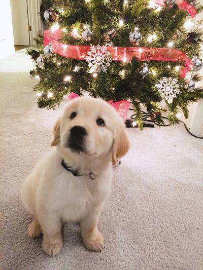 Bailey ~ Golden Retriever Pup ~ Classic Look