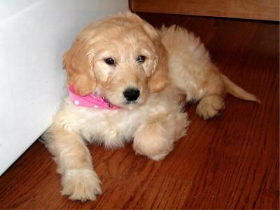 Goldendoodle puppies now ready (Bushnell) | https://in