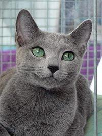 Kattenras: Blauwe Rus Jana met groene ogen (c) GNUFL