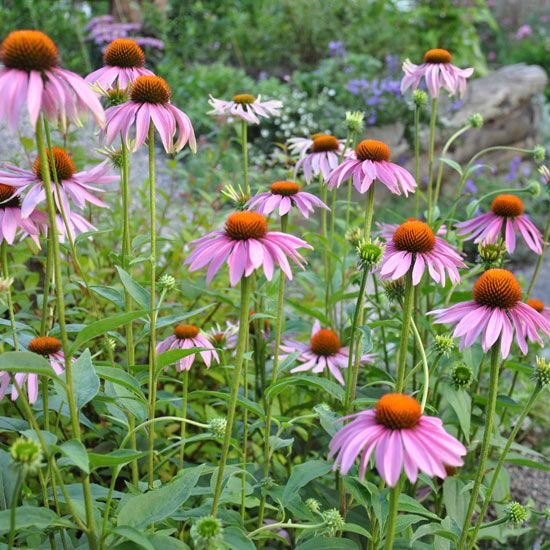 97 Best Images About Perennials On Pinterest