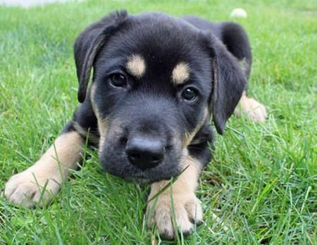 Chocolate Lab and Rottweiler Mix puppy