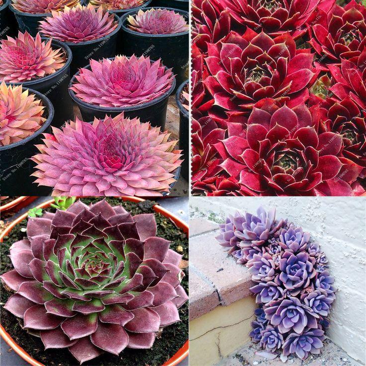 200pcs/bag HOTSALE ECHEVERIA variety mix ! rare plant exotic succulent seeds pot