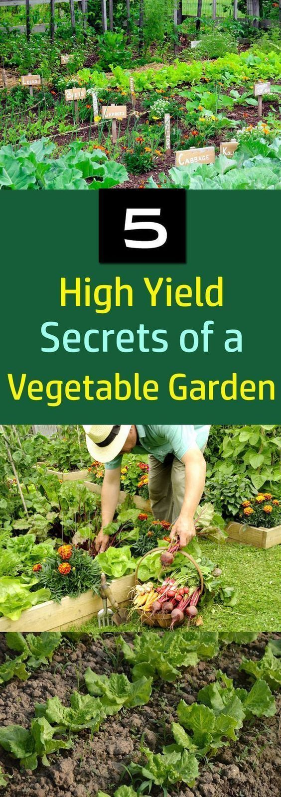 Love growing your own vegetables? These 5 high yield vegetable garden secrets will help you to increase the productivity of your garden #wintervegetablegardening #organicvegetablegardening
