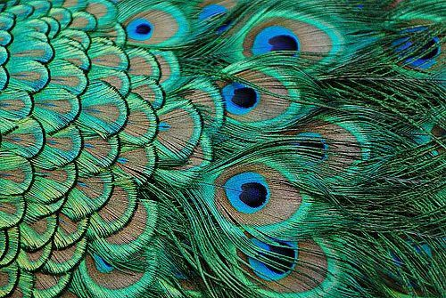Full peacock feathers are absolutely one of the most gorgeous bird feathers there are.  Have you ever seen a live male peacock with his tail held high?