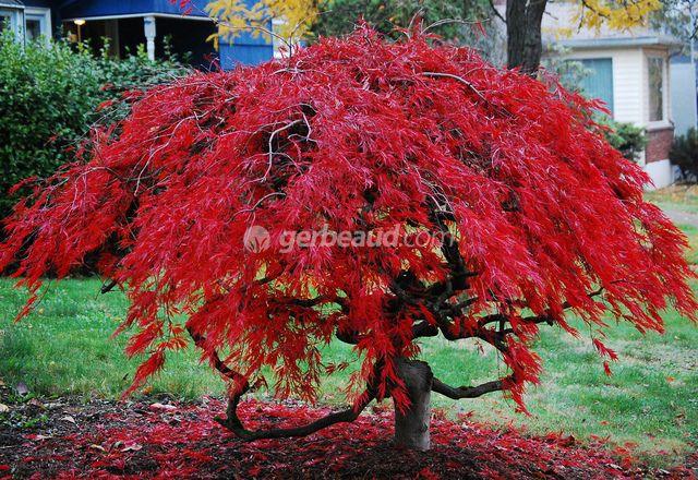 31 best les jardins de ma arbres et conif res nains - Erable du japon vert ...