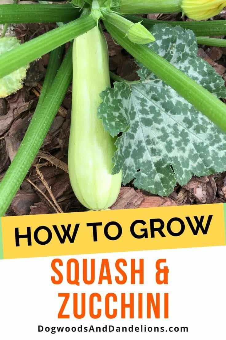 How To Grow Summer Squash Zucchini How To Grow Summer Squash Growing Squash Easy Vegetables To Grow Backyard garden how to zucchini