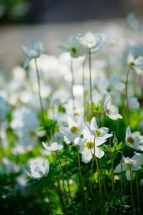 Anemones in the garden are one of my early Spring favorites. They dance in the wind.