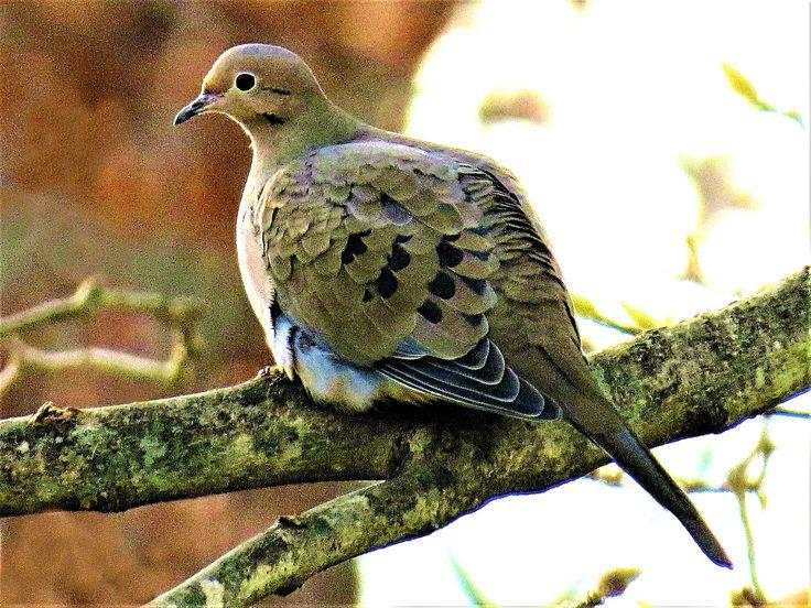Mourning dove, Massapequa, New York. | Oiseaux