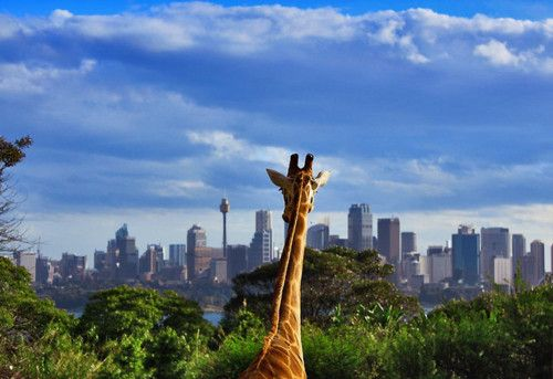 Giraffe in the city?: Big Cities, The View, Sydney Australia, The Cities, Places, Just Love, Smile Faces, Make Me Smile, Giraffes