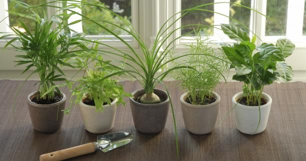 when properly cared for  ponytail palms make gorgeous houseplants  the base of these plants look