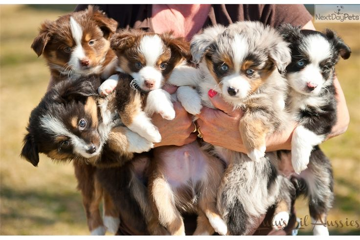 I am a cute Miniature Australian Shepherd puppy, looking for a home on NextDayPets.com!
