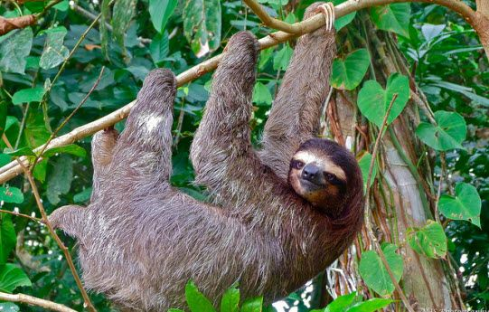 Where to See Sloths in Costa Rica | Costa Rica Free Things To Do