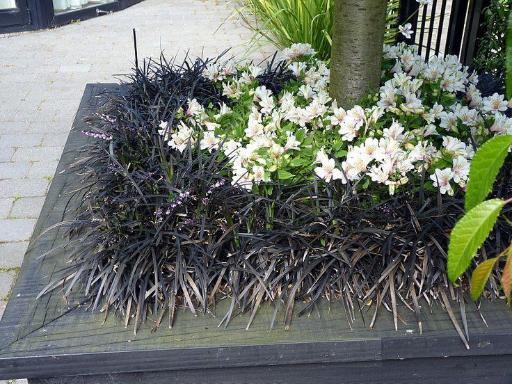 A cirlcle of black mondo grass & alstroemerias at the base of a weeping cheery tree | HEDGE Garden Design & Nursery