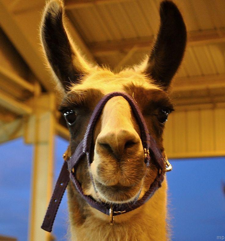 freakin adorable llama