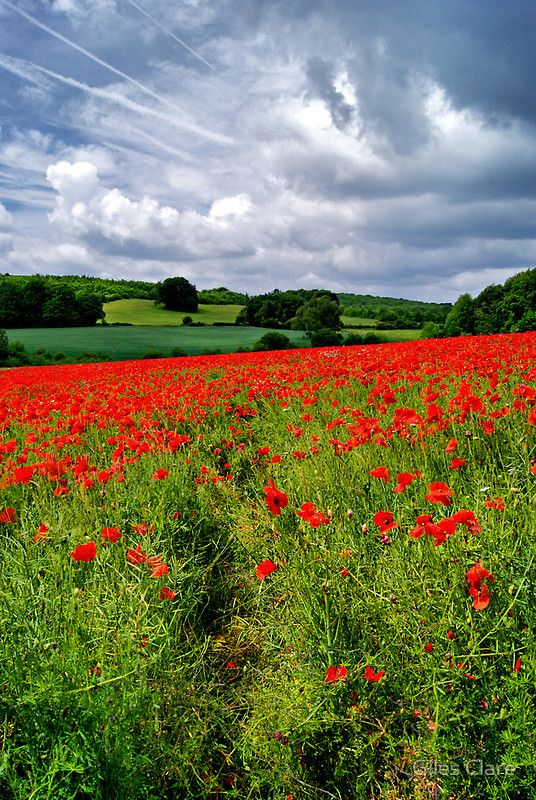 Poppy field in the Cotswolds, England