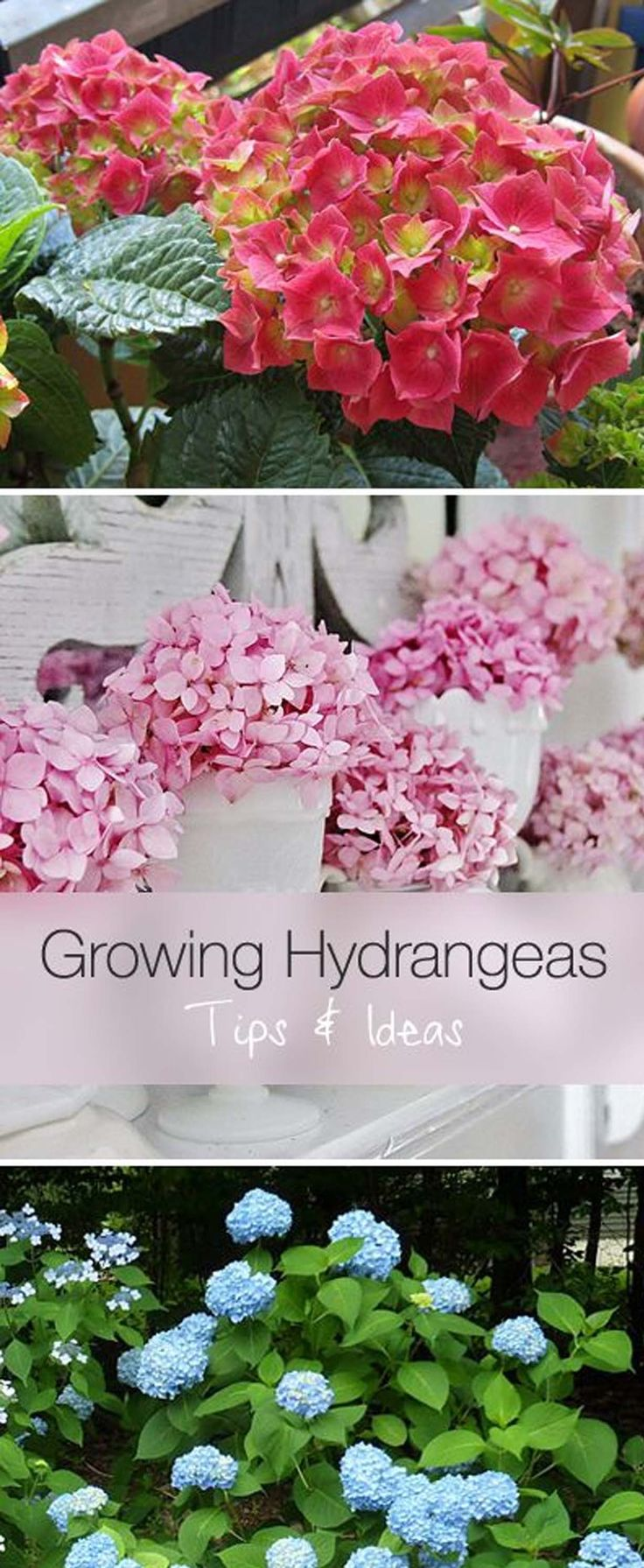 Growing Hydrangeas #Tip #MyGardenGrows #Win