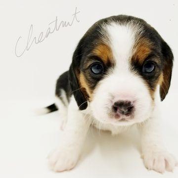 Beaglier puppy for sale in CANOGA PARK, CA. ADN-59071 on PuppyFinder.com Gender: Female. Age: 6 Weeks Old
