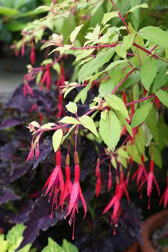 432 best images about fuchsia on pinterest hanging for Fuchsia magellanica