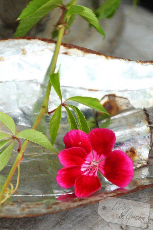 Blattwerk *Grüne Energie für Pflanzen* - Geranie