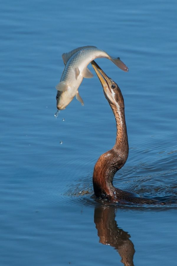 Darter with Catch by Jan Hattingh on 500px