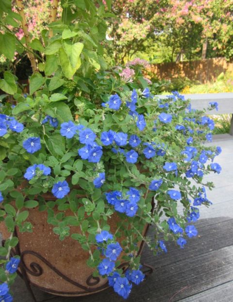 I grew this last couple summers and it stayed pretty even in  the extreme heat we had.  Blue Daze Evolvulus - survives the heat