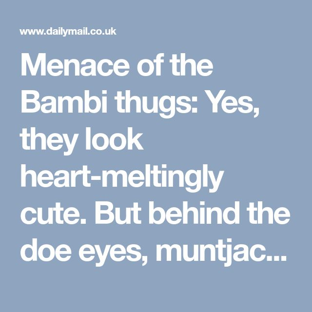 Menace of the Bambi thugs: Yes, they look heart-meltingly cute. But behind the doe eyes, muntjac deer are a breeding and garden-destroying machine - and now they're even killing people