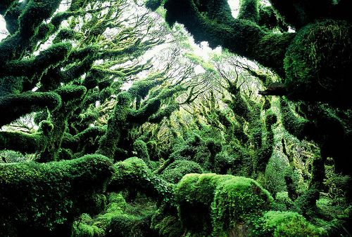 A silver beech cloud forest along New Zealand's Lake Waikaremoana Track. The Lake Waikaremoana Track is one of New Zealand's Great Walks.