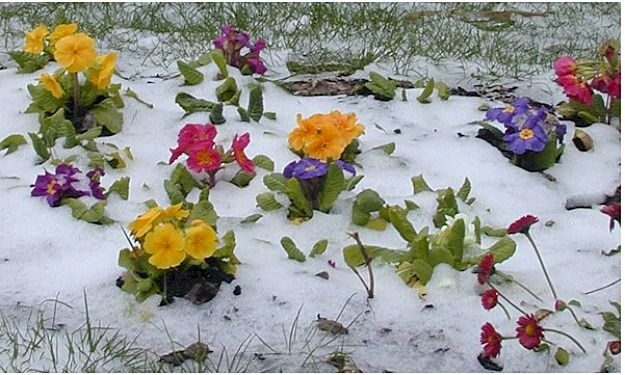 what-to-grow-in-winter_primrose_6
