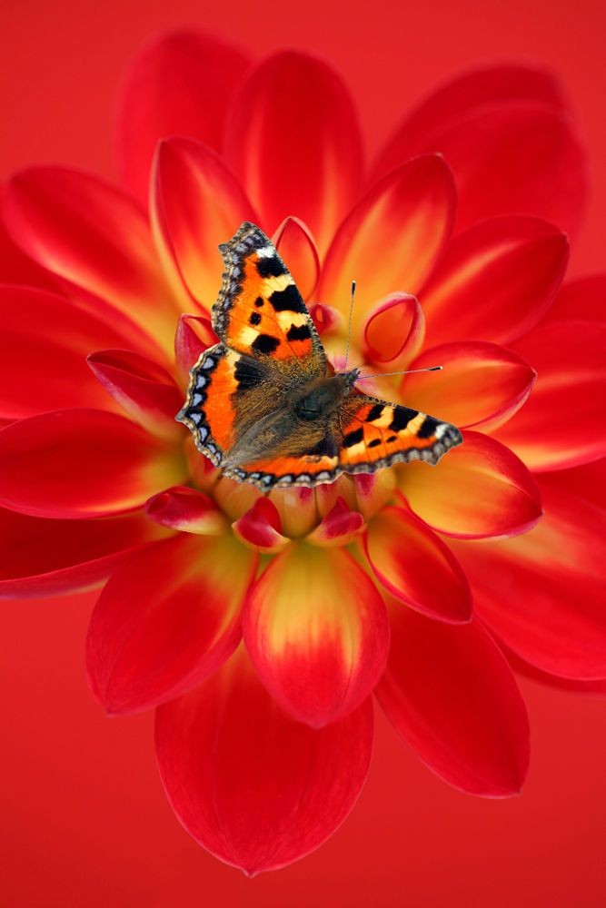 Small Tortoiseshell butterfly on dahlia flower. - title Love Life