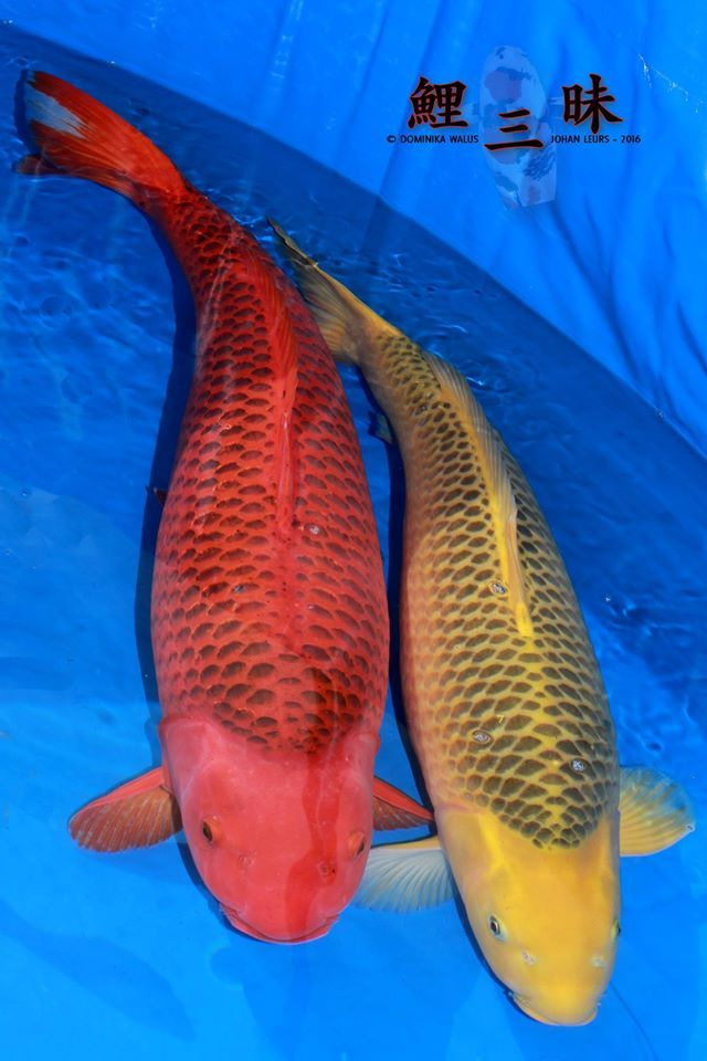 428 best images about koi beauty on pinterest for Benigoi koi for sale