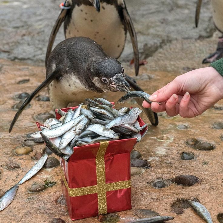 Our young Humboldt penguins Fee Fi Frodo and Fum are also experiencing their first Christmas this year! Keepers gave them a delicious festive fishy treat to celebrate #WMSP #Penguin #Christmas #Present # #Animals #Fish #Treat