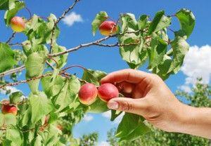 Fruit plukken in de zomer