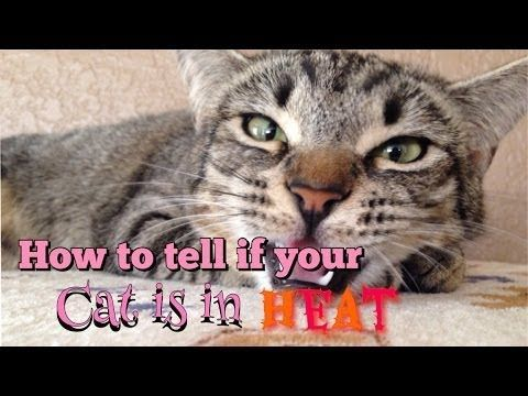 What To Do When Your Cat Is In Heat - http://pets-ok.com/what-to-do-when-your-cat-is-in-heat-cats-5203.html