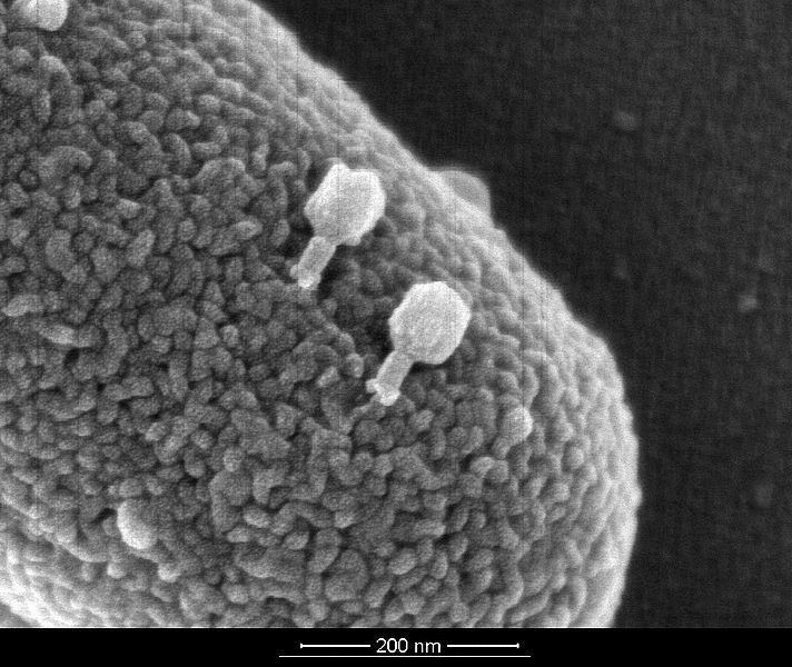 Bacteriophages instead of Horshoe Crabs: The innovative technology behind EndoLISA® Endotoxin Detection Assay is based on LPS-specific binding proteins derived from naturally occurring bacteriophages. This picture shows T4 bacteriophages infecting a live E. coli bacteria cell (source: Dr.Wanner Munich/Hyglos GmbH)