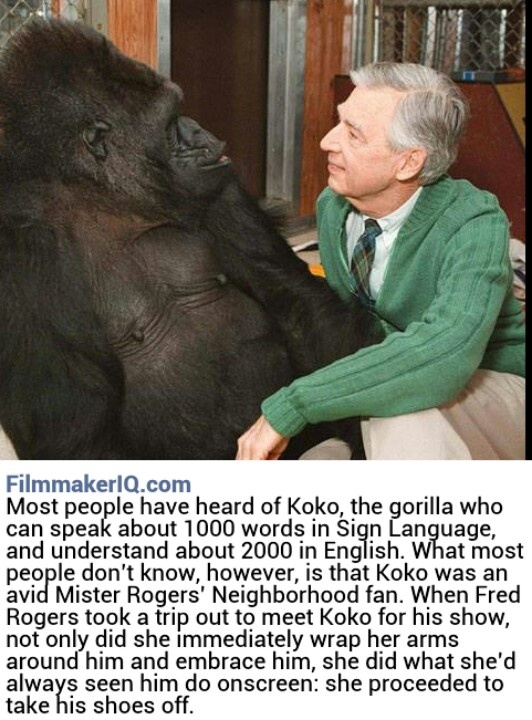 koko the gorilla by filmaker iqcom for the love of