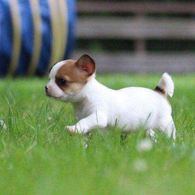 Neothedog Chihuahua Chihuahuamix Chihuahua Welpen Welpe
