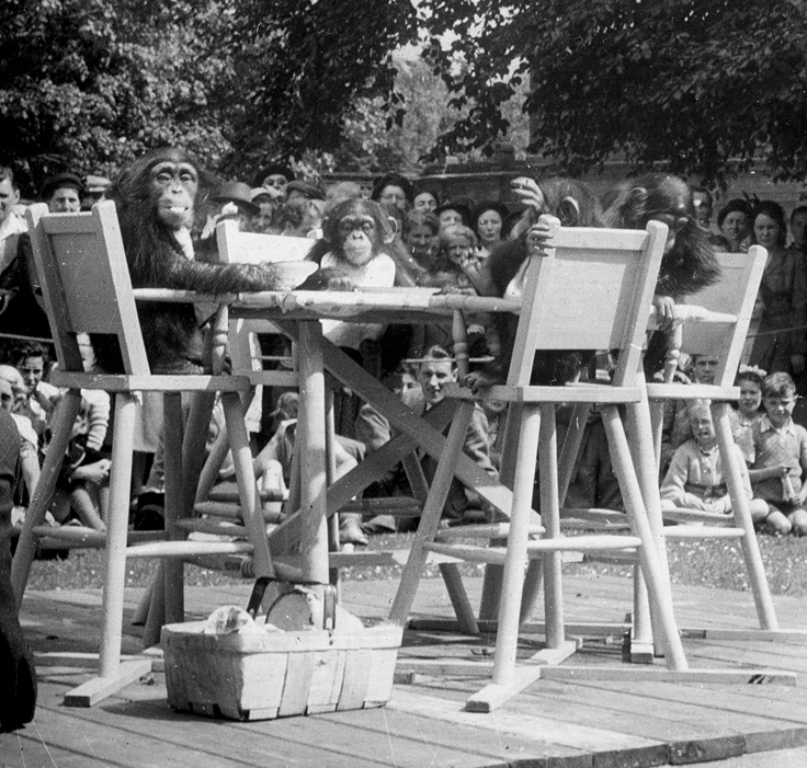 Chimp tea party in the 1950's