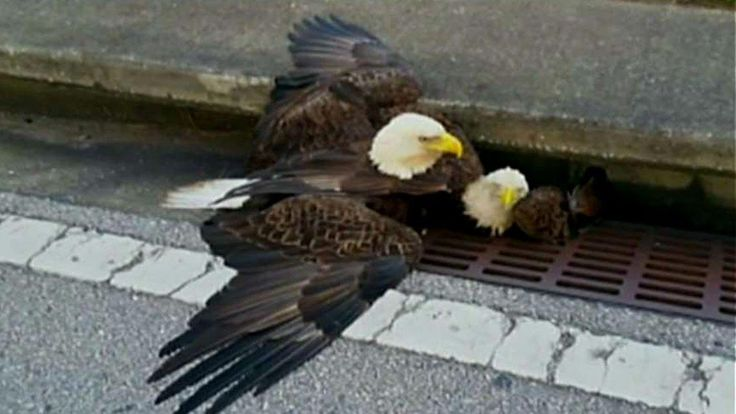 Eagle rescued from Florida storm drain dies from injuries #eagle #rescued #florida #storm #drain #injuries