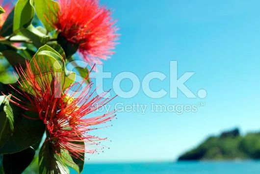 "LazingBeePhotography on Twitter: ""Time to think about #Christmas #Advertising #NewZealand?  … #Kiwiana #KiwiAs #NZ #Pohutakawa """