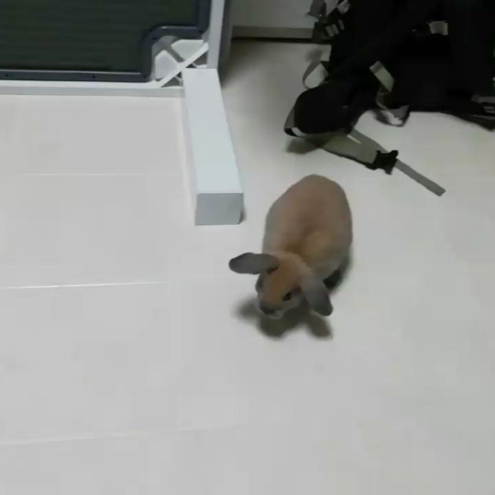 急にジャンプして急に走り出すうちゃ うちゃ うさぎ ウサギ Rabbit Rabbit ロップイヤー プロペラ耳 うさぎ好き うさぎのいる生活 うさぎと暮らす うさぎ ひごペット ひごペットフレンドリー ジャン Instagram Posts Rabbit Instagram
