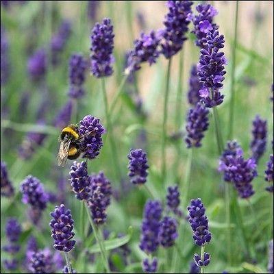 English Lavender Flower Seeds (Lavandula Angustifolia-Vera) 200+Seeds
