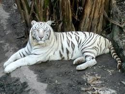White Tiger Resting. All white tigers have pink noses and icy-blue eyes. Some mistakenly consider them as albino tigers. Tigers are the biggest of the big cats and most males weigh at least 400 pounds or more. Learn more about tigers here: http://easyscienceforkids.com/all-about-tigers/