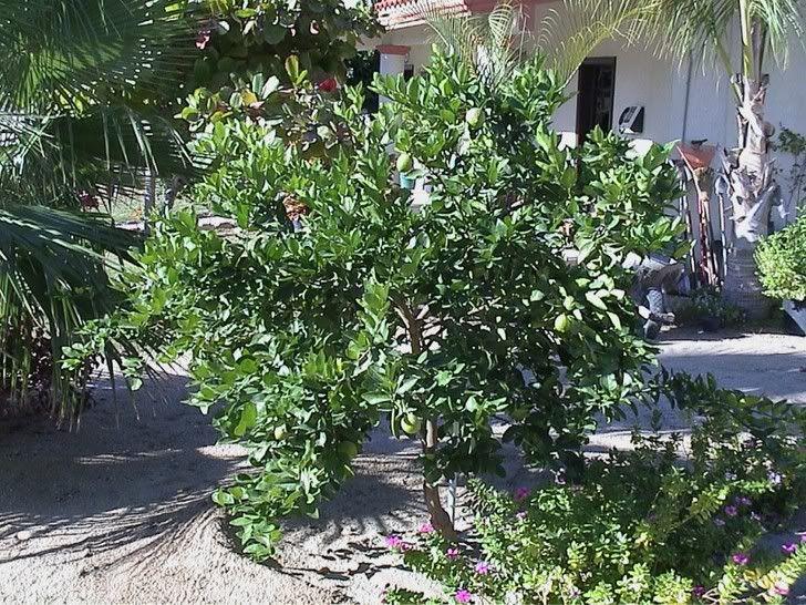 Bearss Lime Tree (Persian Lime)