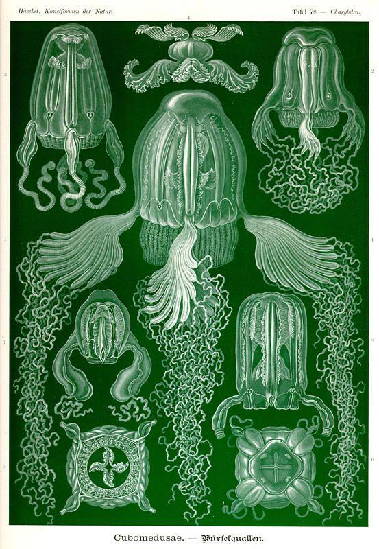 Ernst Haeckel, Kunstformen der Natur (1904), Tafel 78